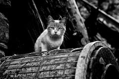 Gato de Puértolas (ver grande) (carnuzo) Tags: leica m9 aposummicron 75mm