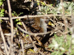 What bird ... where?  Sora (Porzana carolina) (barbara robeson) Tags: barbararobeson danvillecalifornia arrowheadmarsh sora porzana carolina rail bird