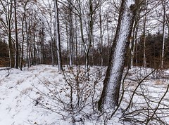 Tree trunks covered with snow (tomaskriz1) Tags: leaf brown white snow trunk plant outdoor forest landscape natural nature outdoors rural scene season tree trees moravian czech winter