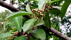 Aglaia-latifolia_FosterBG-Honolulu_Cutler_20170105_153515 (wlcutler) Tags: oahu hawaii honolulu fosterbotanicalgarden aglaia aglaialatifolia meliaceae