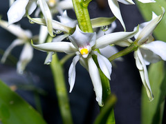 Encyclia allemanoides (Eerika Schulz) Tags: encyclia berggarten hannover herrenhausen herrenhäuser garten orchidee allemanoides eerika schulz