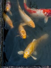 Koi (campra) Tags: japan miyagi sendai 宮城県 仙台 buddhist temple rinnoji garden zen koi fish water breathe