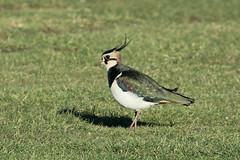 Northern Lapwing (ƒliçkrwåy) Tags: northern lapwing bird nature vanellus wittering
