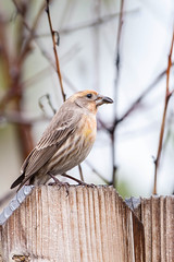 House Finch. (LisaDiazPhotos) Tags: house finch orange birdwatch bird birdwatching birding backyard lisadiazphotos
