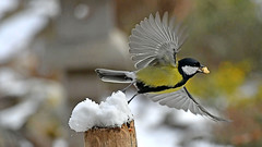 take-off (karinrogmann) Tags: kohlmeise greattit cinciallegra abflug decollo