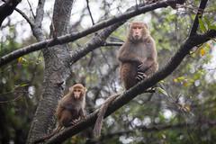 20170131-8M7A5462 (chris_peng) Tags: 獼猴 猴子