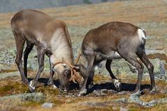 Combat de Caribous (Liberté55) Tags: faune parcdelagaspésie gaspésie caribou montjacquescartier