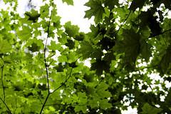 Stony Swamp Ottawa, Ontario Canada (nikname) Tags: trees ontariocanada canadiantrees canadianforest canadianparks provincialparks stonyswamptrailottawaon swamps leaves mapleleaves foliage greenfoliage greenleaves summer summerskies