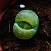 Lithop Lesliei (hug0ncalves) Tags: lithop lesliei rare flickr explore details succulent collector