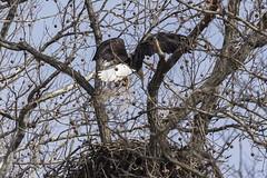 BALD EAGLES NESTING ON LEVEE RD., BROOKVILLE IN. (nsxbirder) Tags: baldeagle haliaeetusleucocephalus brookville indiana whitewaterriver franklincounty