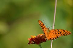 DSC_0959 (Kelson Souza) Tags: borboleta borboletas natureza butterfly