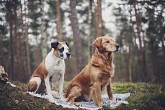 2/12 Edgar & Albert (Jutta Bauer) Tags: 12monthsfordogs 12monthsforedgarandalbert 212 edgaralbert dogs forest winter outdoors picnic together friendship love goldenretriever boxermix pitbullmix