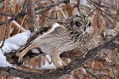 Short-eared Owl DSC_8534 (Ron Kube Photography) Tags: owl owls bird birds nature fauna ornithology alberta canada shortearedowl shorteared southernalberta raptor birdofprey nikon nikond7200 d7200 ronaldok globalbirdtrekkers asioflammeus ronkubephotography