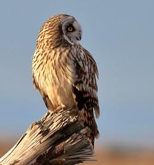 Short-eared Owl (brian.bemmels) Tags: richmond bc asio flammeus asioflammeus shorteared owl shortearedowl canada raptor birdofprey predator