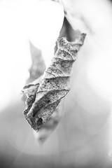 frosty leaf cocoon (Jaayelle ✿) Tags: frosty dof bokeh blackandwhite