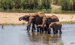 Manada de elefantes (JaviJ.com) Tags: park water animals animal family fauna africa elephant big national 5 safari animales south agua elephants familia kruger five los elefante cinco sudafrica grandes javij