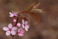 Tiny bug hiding in the blossom....... (favmark1) Tags: blossom bug beatle kent