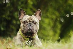 Hatchi (Juliette Plus) Tags: dog chien animal 50mm bulldog frenchie frenchbulldog dogphotography doglover bouledoguefranais bouledogue dogfotografie