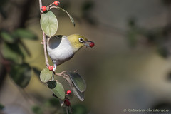 Silvereye with a red berry (kasia-aus) Tags: red bird nature animal berry feeding wildlife australia canberra silvereye cotoneaster zosteropslateralis