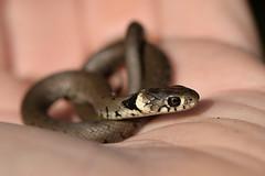 Baby Grass Snake (Natrix natrix) (Kentish Plumber) Tags: uk baby nature countryside kent europe reptile snake wildlife southeast southernengland weald grasssnake natrixnatrix herpetofauna nbw