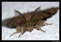 Lymantria dispar (cquintin) Tags: lepidoptera arthropoda lymantria erebidae dispar macroinsectes