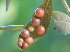peas in a pod 'life's hanging by a petiole' (Mel's Looking Glass) Tags: insect leaf eggs galls chorion