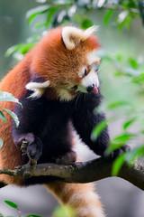 Lesser panda (Reinfox) Tags: park animal canon mammal is panda x ii redpanda tama planet usm lesser animalplanet 動物 eos1d ailurusfulgens zoological lesserpanda 多摩動物公園 tamazoo レッサーパンダ f28l tamazoologicalpark 1dx ef300mm 哺乳類 canonef300mmf28lisiiusm ef300mmf28lisiiusm canoneos1dx eos1dx
