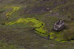 Moose - Laugavegur - Trekking auf Island