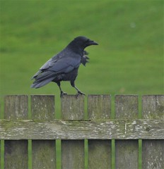 Wind Ruffled Crow - Blyth (Gilli8888) Tags: bird fauna coast seaside northumberland crow northeast blackbird blyth