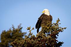 (frostnip907) Tags: autumn bird nature alaska canon eagle baldeagle ak raptor tamron spruce canon7d tamron150600mmf563spdivcusd