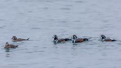 Harlequin Ducks (Histrionicus histrionicus) (Michael J Porter) Tags: canada bird birds outdoor britishcolumbia wildlife victoria vancouverisland naure cloverpoint