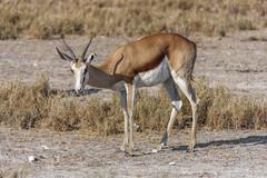 Shy (Leonardo Del Prete) Tags: shy namibia antilope etosha springbok timida etoshanationalpark