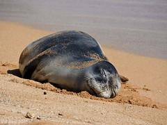 So over being green (mygirlzgotpaws) Tags: beach hawaii pacific wildlife kauai endangered monkseal