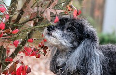 50/52 Skippy smelling the burning bush (Bella Lisa) Tags: burningbush miniaturepoodle 52weeksfordogs