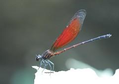 Chiang Mai Calopterygidae (Phil Arachno) Tags: thailand chiangmai arthropoda tha odonata insecta zygoptera calopterygidae hexapoda kleinlibellen