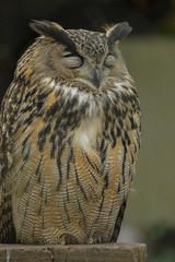 Europese Oehoe (pclaesen) Tags: zoo nederland owl brabant oehoe dierentuin volkel uil europeaneagleowl europeseoehoe nikon1j3
