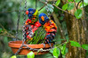 loriquet (trichoglossus haematodus) (alain01789) Tags: oiseau bird couleurs colors animal wildlife perroquet parrot velvia