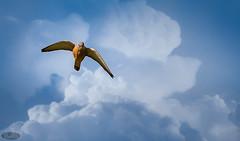 Cernicalo comun 01 (PictureJem) Tags: ave cielo volando