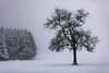 Foggy snow @ Ardennes (Jan Hoogendoorn) Tags: snow sneeuw fog mist tree boom forest bos belgium belgie ardennen ardennes