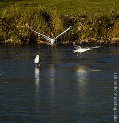 365-20 Black Headed Gulls on Ice (ianbartlett) Tags: outdoor chimney black headed gulls light ice flight