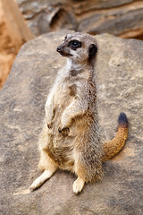 Meerkat standing up straight (charissadescande) Tags: africa portrait safari cute nature ecology standing snout guard animal small creature wild wildlife mammal single eyes mongoose lookout environment watchful pretty wilderness alert addo easterncape southafrica zaf