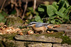 _F0A7278.jpg (Kico Lopez) Tags: galicia lugo miño sittaeuropaea spain trepadorazul aves birds rio