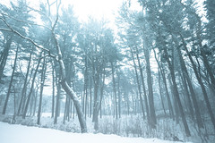 Cold Hands (Tim Drivas) Tags: winter snow trees pinetrees outdoors snowing weather newyorkcity queens storm