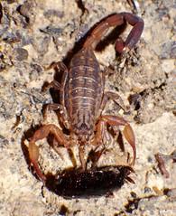 FETISH FOR FEET P1160535 (Steve & Alison1) Tags: orange tan black scorpion lychas species buthidae eating feet cockroach blattidae airlie beach rainforest foot fetish