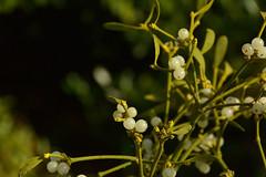 viscum album (loranthacées) (Bernard P.) Tags: gui plante nature arbrisseau vert boules fruits france nikon
