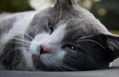 Copernicus (Larah McElroy) Tags: photograph photography picture pictures larah mcelroy larahmcelroy animal animals cat cats kitten kittens kitty kitties feline felines grey gray