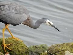 Craning Heron (mikecogh) Tags: glenelg heron grey gray neck beak rocks algae