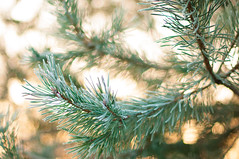Happy 2017! (Łukasz Babula) Tags: poland december winter tree pine sun sunny shine sunrise sunbeam snow frost frosty cold calm peaceful nature natural landscape outdoor plant bokeh nikon d300 nikkor 50mm 14 countryside green warm conifer