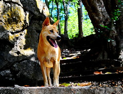 ,, Queen of The Jungle ,, (Jon in Thailand) Tags: mama jungle mountain tongue smile hike deep nikon d300 nikkor 175528 panting highheat highhumidity trees rock bolder ears eyes triplecanopyjungle bluesky dog k9 happydog littledoglaughedstories