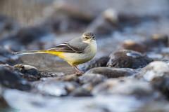 01-7913 (fix.68) Tags: bergeronnettedesruisseaux oiseau